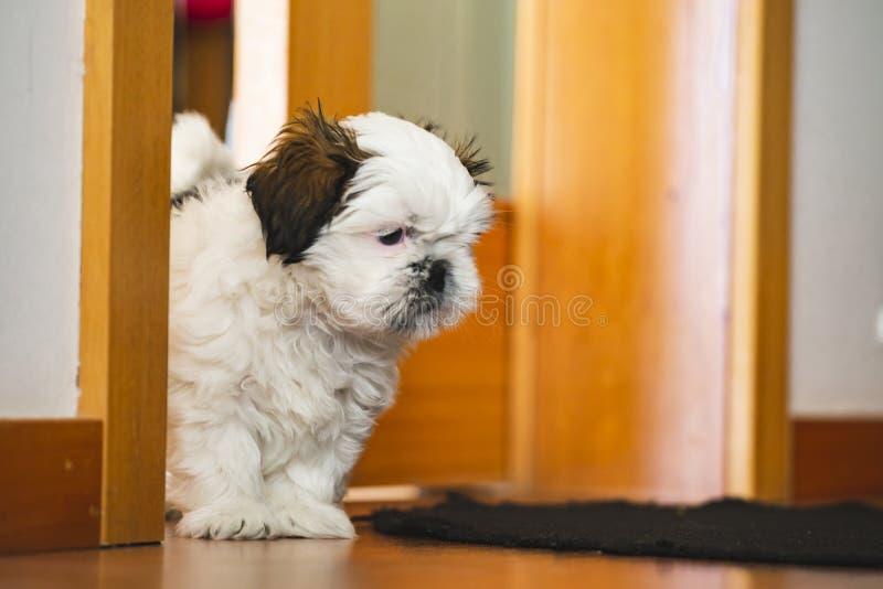 Cão de cachorrinho pequeno de Shi Tzu imagens de stock