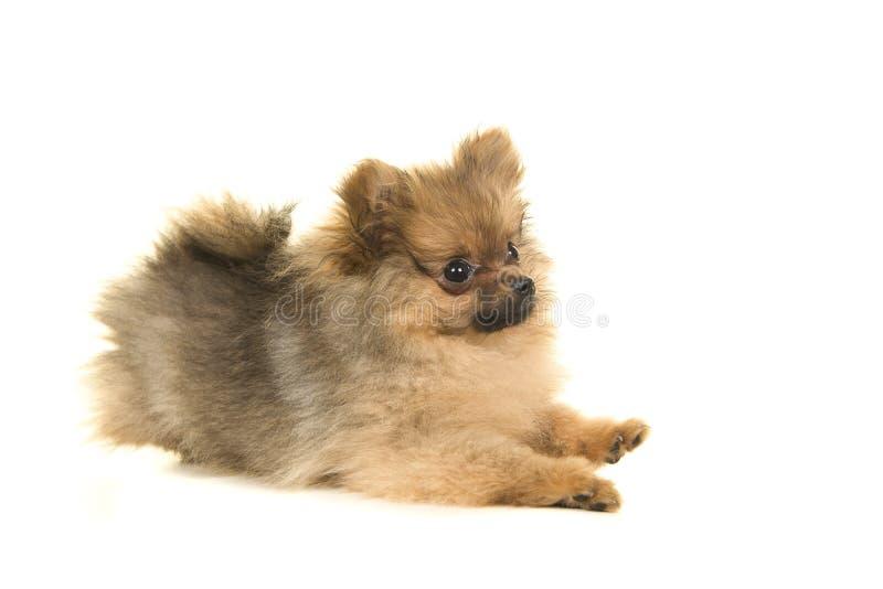 Cão de cachorrinho pomeranian brincalhão bonito que encontra-se isolado para baixo em um branco foto de stock