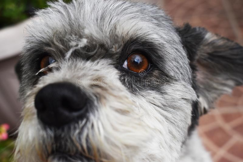 Cão de cachorrinho pouco animal do nariz do olho foto de stock royalty free
