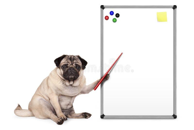 Cão de cachorrinho sério do pug que senta-se para baixo, apontando na placa branca vazia vazia com notas e os ímãs amarelos fotos de stock