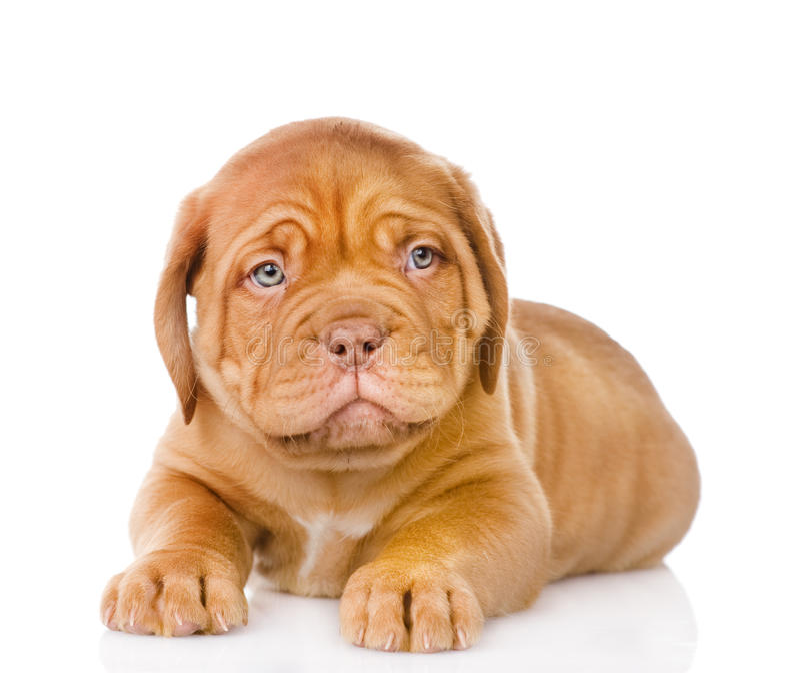 Cão de cachorrinho triste do Bordéus Isolado no fundo branco foto de stock royalty free