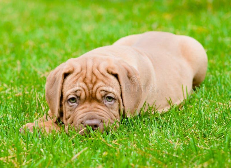 Cão de cachorrinho triste do Bordéus que encontra-se na grama verde foto de stock royalty free