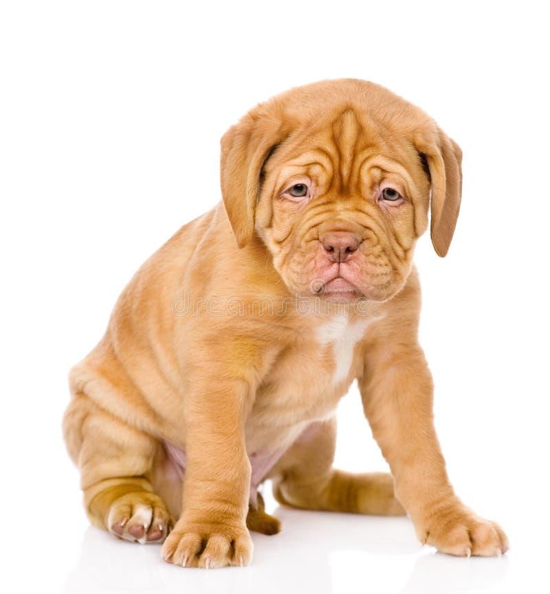 Cão de cachorrinho triste do Bordéus que senta-se na parte dianteira Isolado foto de stock