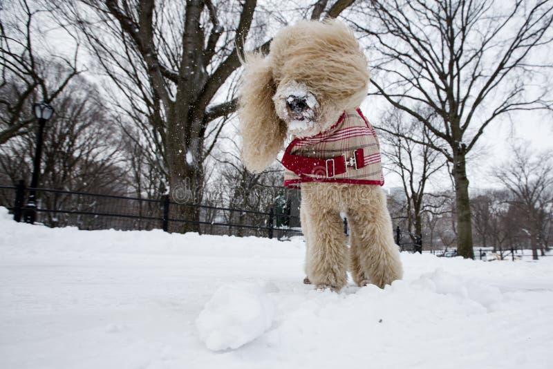 Cão de caniche bonito que joga na neve, Central Park New York fotos de stock royalty free
