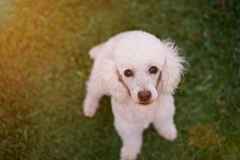 Cão de caniche branco bonito imagem de stock