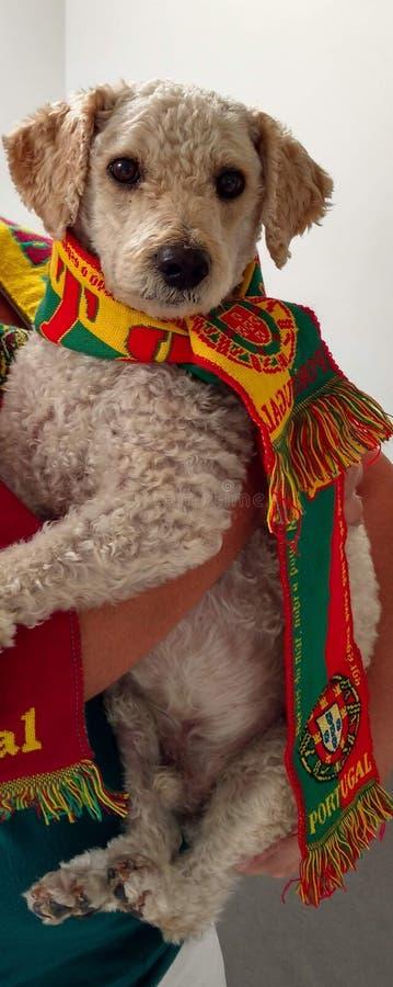 Cão de caniche com uma bandeira portuguesa como um bandana para o worldcup imagens de stock