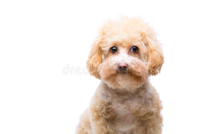 Cão de caniche isolado imagem de stock royalty free