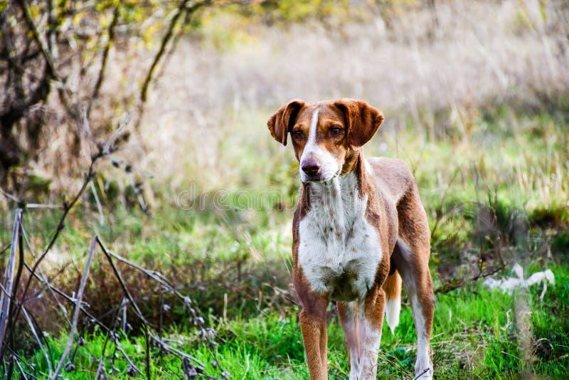 Cão de carneiros fotografia de stock royalty free