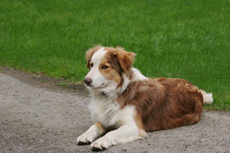 Cão de carneiros azul de Merle imagem de stock royalty free