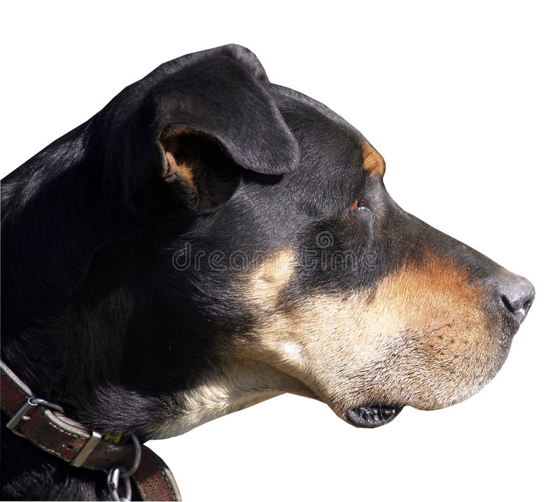 Cão de carneiros de Huntaway fotografia de stock royalty free