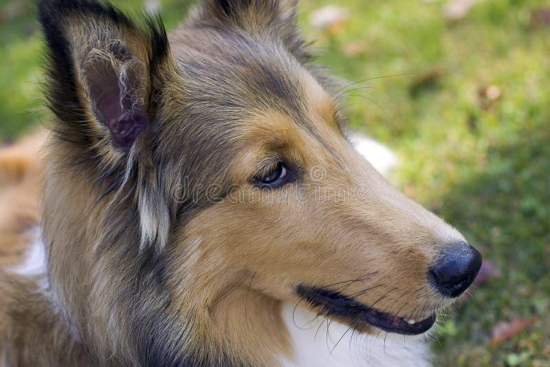 Cão de carneiros de Shetland fotos de stock