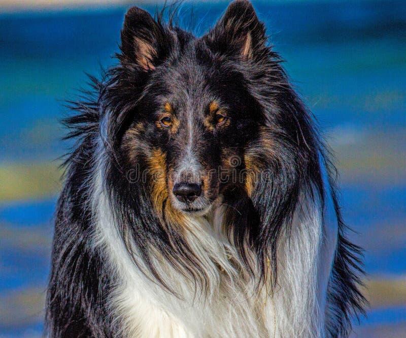 Cão de carneiros de Shetland foto de stock