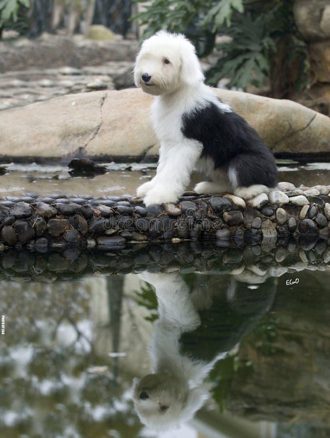 Cão de carneiros inglês velho do cão fotografia de stock