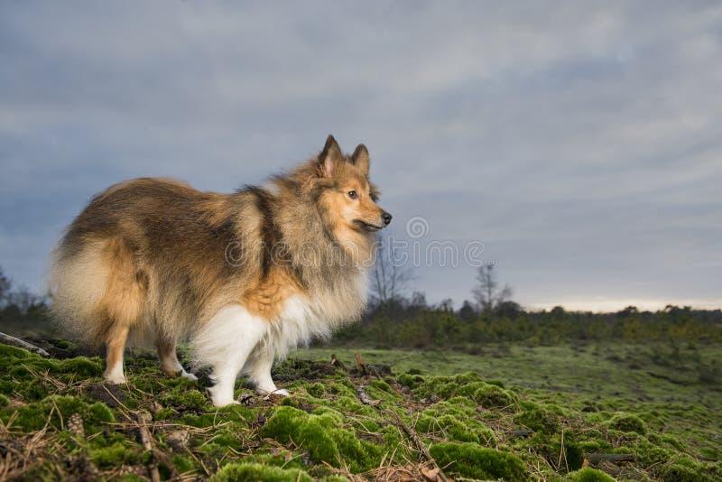 Cão de carneiros de Shetland que está orgulhoso em um environmentviev do ar livre fotografia de stock