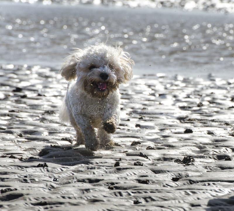 Cão de Cavapoo que corre através da areia na praia fotos de stock