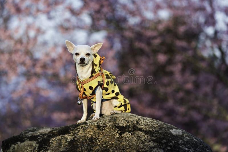 Cão de Chiwawa imagem de stock