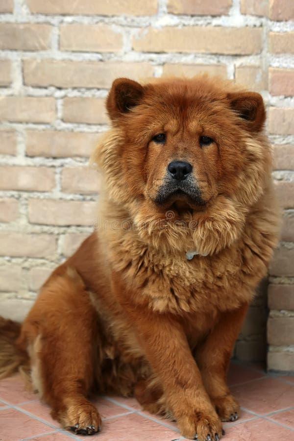 Cão de Chow Chow fotografia de stock