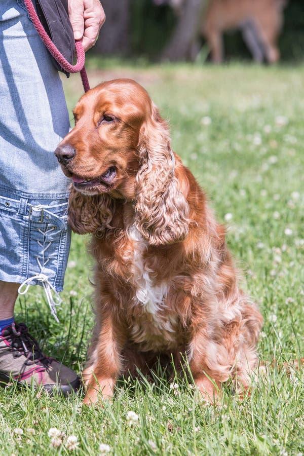 Cão de cocker spaniel imagens de stock