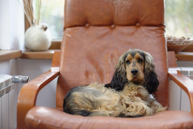 Cão de cocker spaniel do inglês foto de stock royalty free
