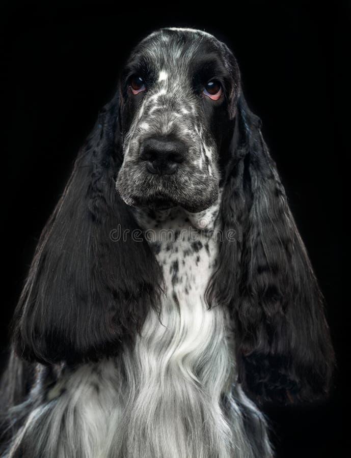 Cão de cocker spaniel do inglês isolado no fundo preto fotos de stock royalty free