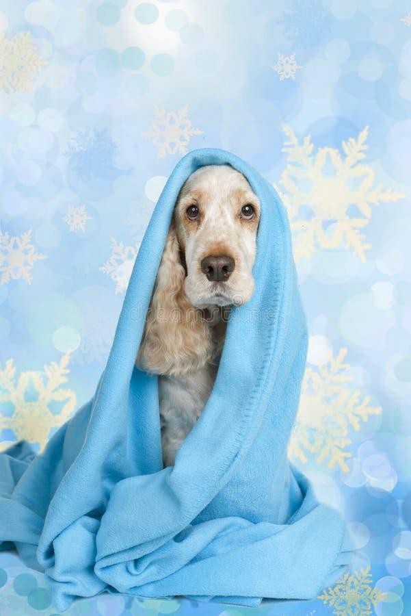 Cão de cocker spaniel do inglês no Natal isolado no fundo azul do gelo imagem de stock royalty free