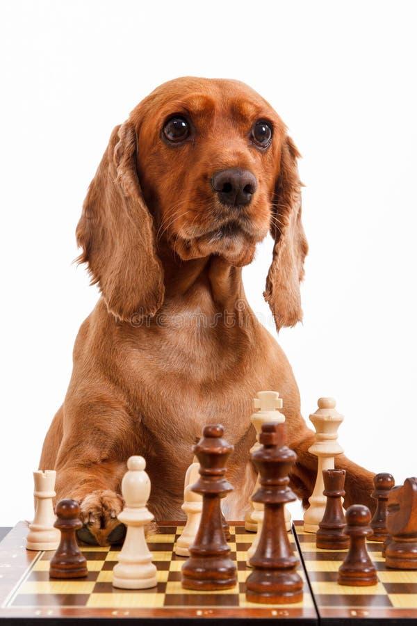 Cão de cocker spaniel do inglês que joga a xadrez imagens de stock