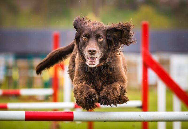 Cão de cocker spaniel que faz a agilidade imagens de stock