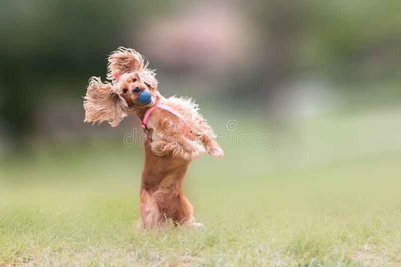 Cão de cocker spaniel que salta e que obstrui uma bola imagem de stock