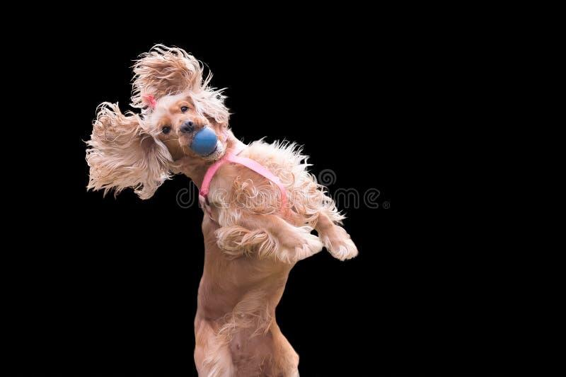 Cão de cocker spaniel que salta e que obstrui uma bola isolada no preto imagem de stock royalty free
