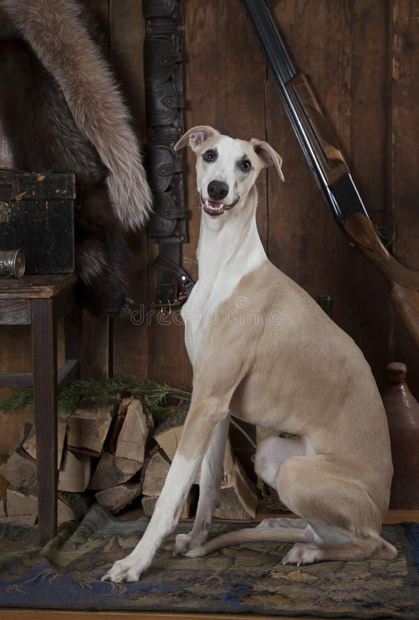 Cão de corrida do cão de caça foto de stock