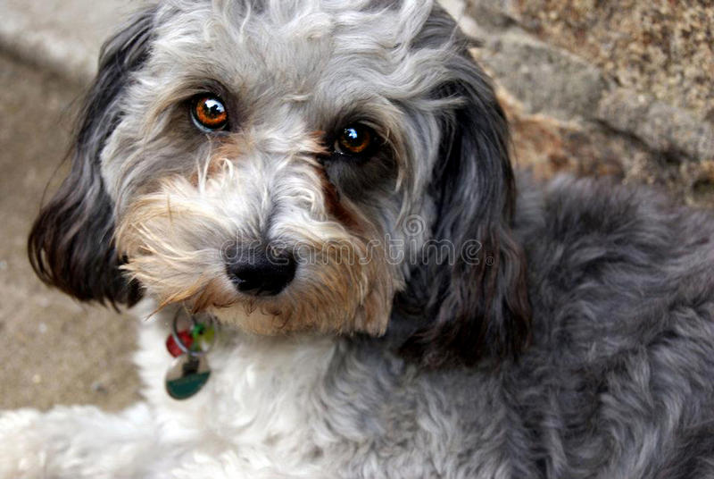 Cão de Cutie com olhos de bronze imagem de stock royalty free