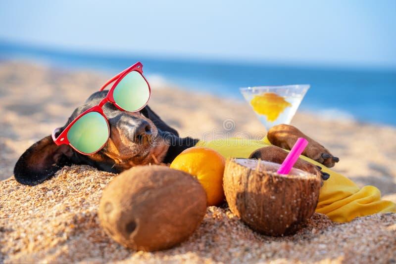 Cão de dachshund, preto e bronzeado, numa camiseta amarela, enterrado na areia do mar de praia nas férias de verão, vestindo verm fotografia de stock