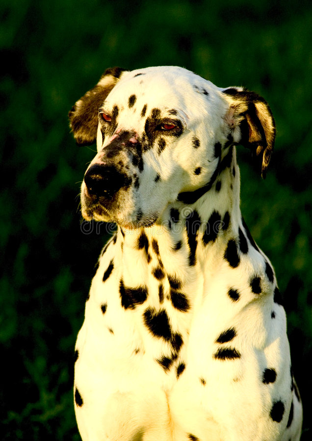 Cão de Dalmation fotografia de stock royalty free