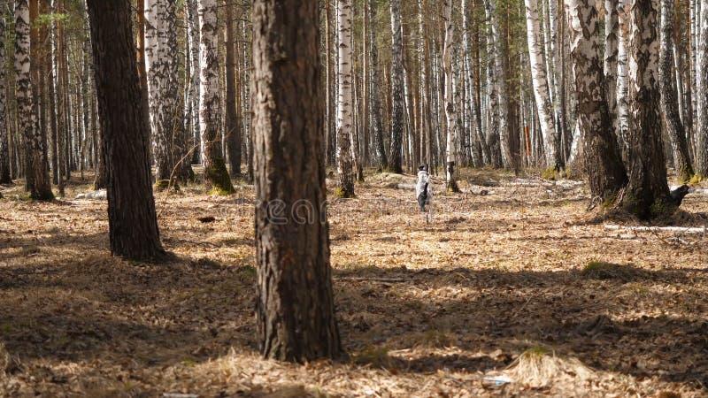 Cão de Dalmation que corre com uma parte de madeira em um campo Cão Dalmatian com uma vara fotos de stock royalty free