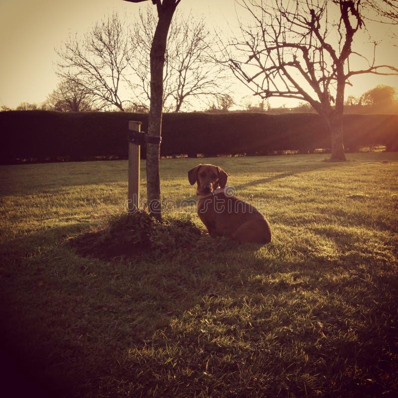 Cão de Daschound do por do sol fotos de stock royalty free