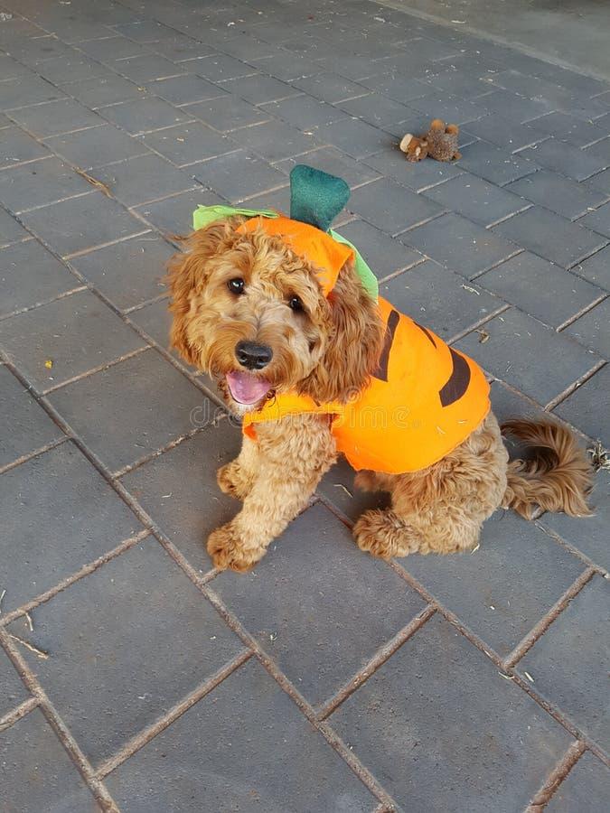 Cão de Dia das Bruxas fotografia de stock royalty free