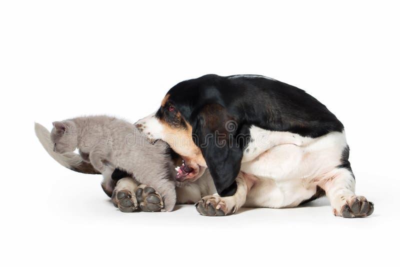 Cão Cão de cão do Basset com o gatinho britânico pequeno no backgro branco fotos de stock