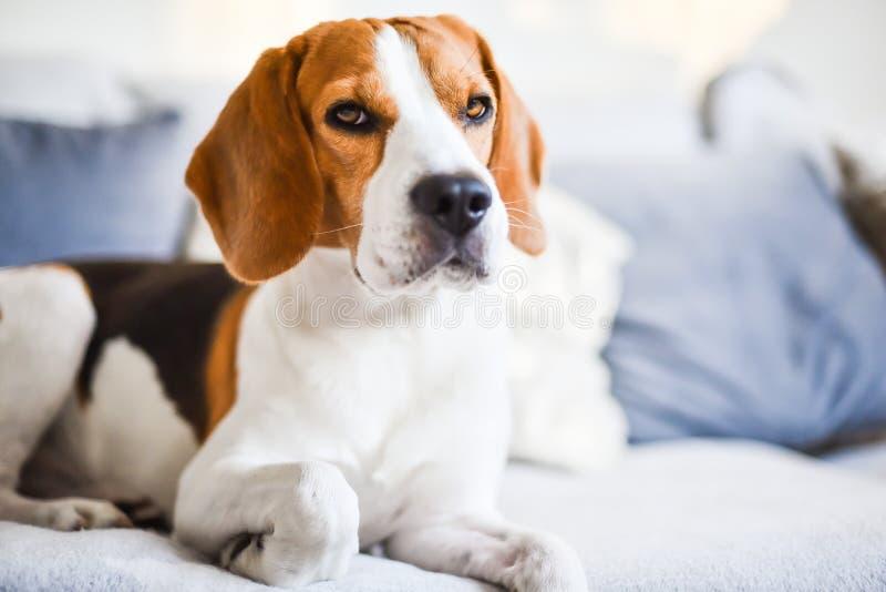 Cão de Eagle que encontra-se para baixo em um sofá que olha seriamente para a câmera fotos de stock