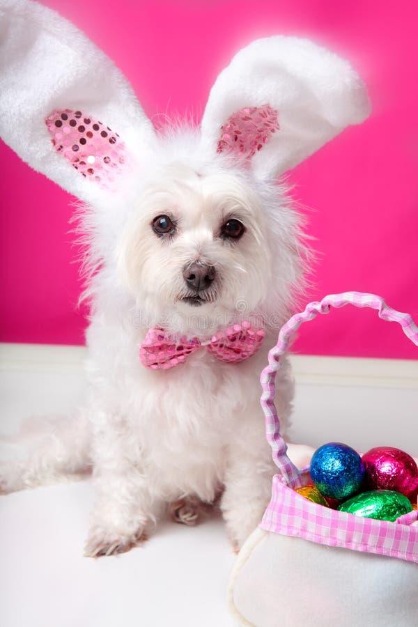 Cão de Easter com orelhas e ovos do coelho imagem de stock royalty free