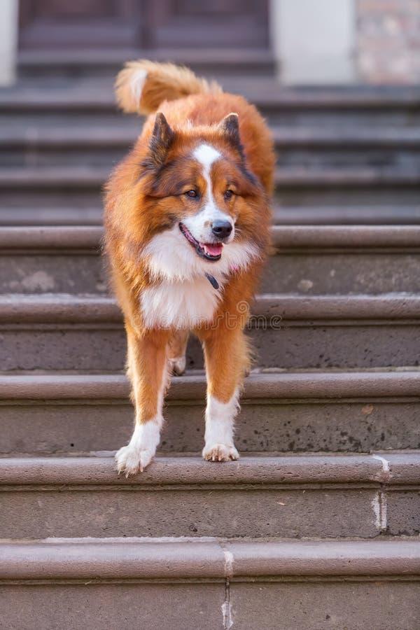 Cão de Elo que senta-se em escadas imagens de stock royalty free