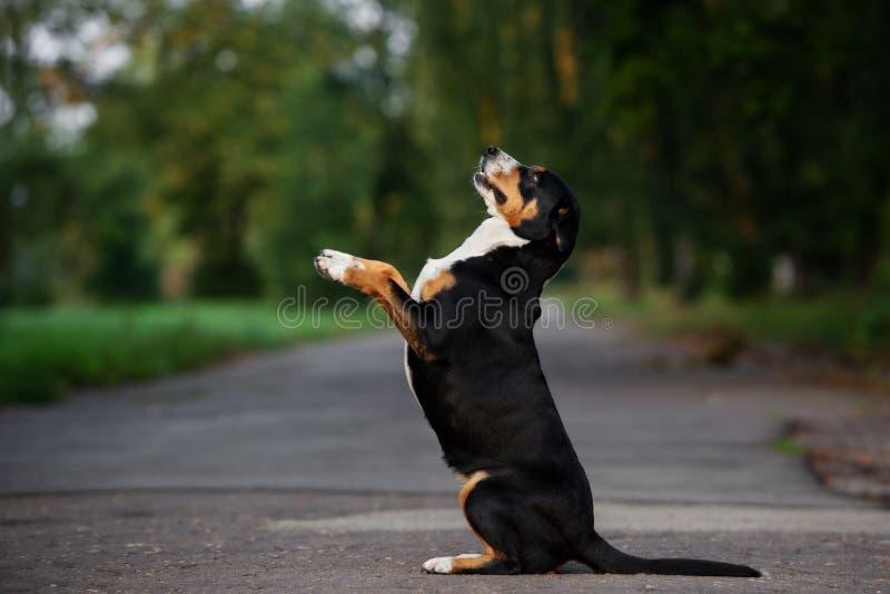 Cão de Entlebucher que levanta fora imagens de stock royalty free