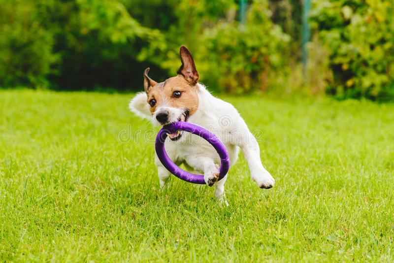 Cão de estimação adorável que joga com o brinquedo no gramado da grama verde no pátio traseiro imagem de stock royalty free