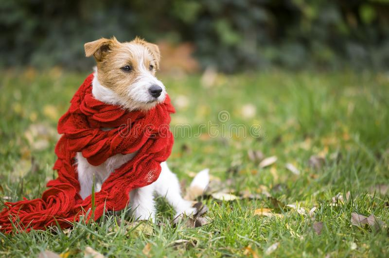 Cão de estimação bonito como vestir o lenço vermelho - cartão de Natal, conce do inverno foto de stock royalty free