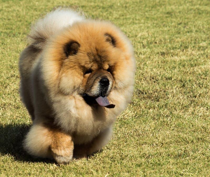 Cão de estimação de Chow Chow do puro-sangue com a língua azul que anda na grama imagem de stock