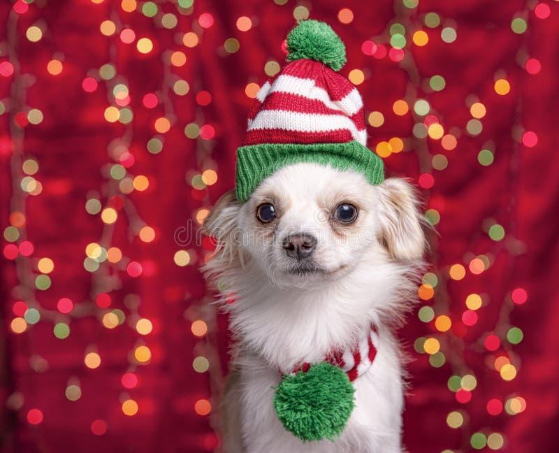 Cão de estimação com chapéu e lenço do Natal imagens de stock