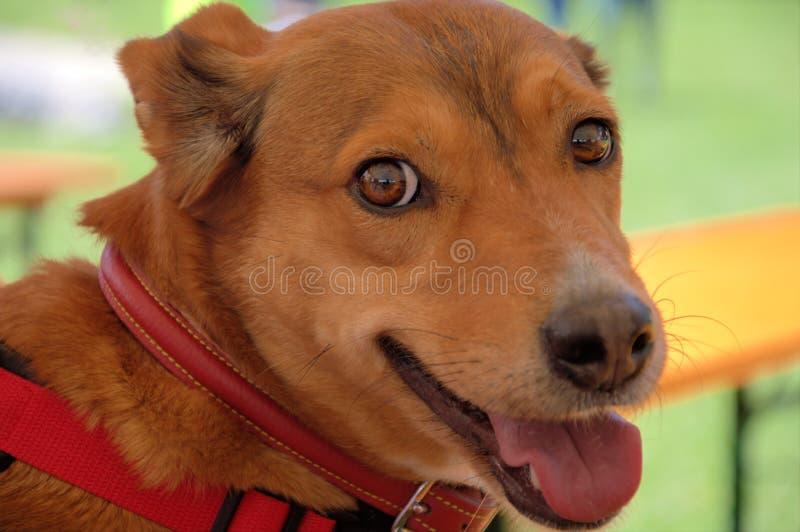 Cão de estimação da cabeça da beleza imagens de stock royalty free
