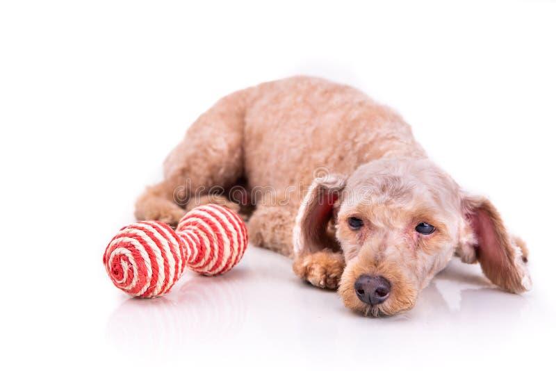 Cão de estimação deprimido triste da caniche depois que o cabelo curto cortou a preparação fotos de stock