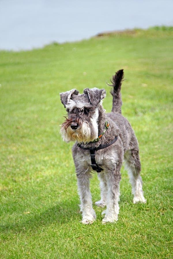Cão de estimação do schnauzer diminuto imagem de stock royalty free