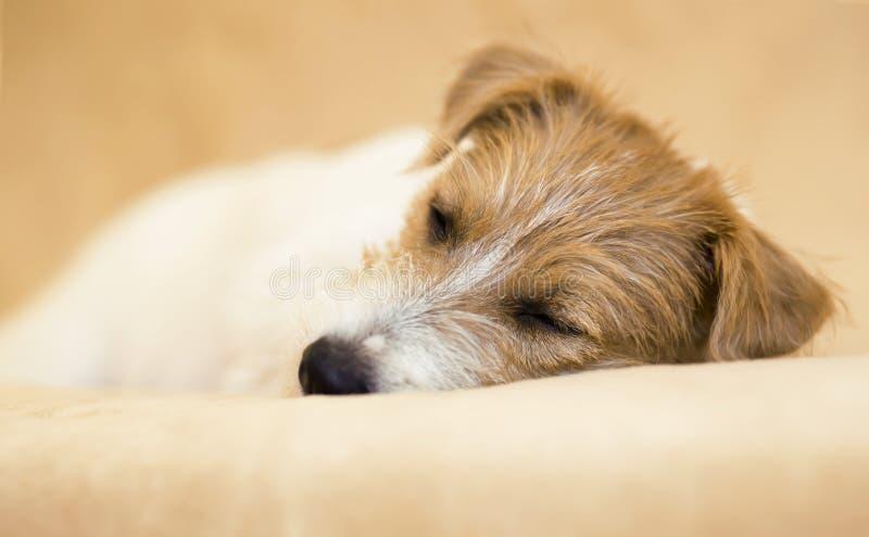 Cão de estimação preguiçoso do sono bonito fotos de stock royalty free