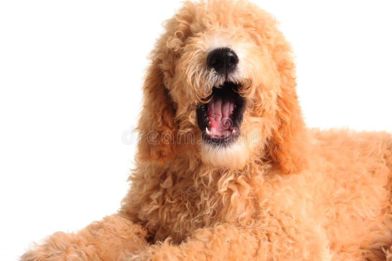 Cão de fala imagens de stock royalty free